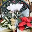 シクラメンクリスマスアレンジ1 鉢花・花苗等の寄せ花