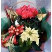 シクラメンクリスマスアレンジ2 鉢花・花苗等の寄せ花