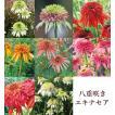 エキナセア カラフル八重咲き タキイ 流通量の少ない八重咲き種 耐寒性 多年草 8種 9cmポリポット
