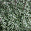 タイム シルバータイム ハーブ苗 寄せ植え カラーリーフ カラーラベル付き 7.5cmロングポット タキイ種苗