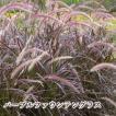 パープルファウンテングラス 5号 グラス類 半耐寒性多年草 カラーリーフ ペニセタム 庭のアクセント 花の苗 花鉢