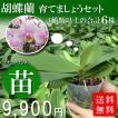 胡蝶蘭を育てましょうセット(6株)【送料無料】★期間限定★胡蝶蘭をご自宅で育ててみませんか。