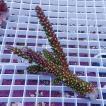 【サンゴ現物129】ブリードミドリイシ ! 15時までのご注文で当日発送 【べっぴん珊瑚祭り対象商品】