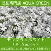 モンブランホワイト 40ポット  芝桜(シバザクラ)