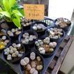 リトープス寄せ植え多肉植物3号プラ鉢