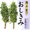 生花のしきみ しきび 大(80cm)2束セット 樒 はなしば ハナシバ