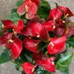 滋賀県の高品質アンスリウム「愛んすりうむ」 11号サイズ 高さ60cm×幅55cm/鉢直径33cm