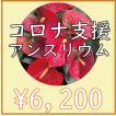 【7月末まで全国送料無料】滋賀県のアンスリウム「愛んすりうむ」8号寄植え 高さ80cm×幅40cm/鉢の直径24cm【単色】【2色植え】