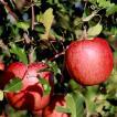 きららふぁーむ 松川町産 サンふじ(R)(葉とらずリンゴ)3kg