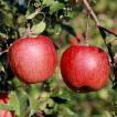 きららふぁーむ 松川町産 サンふじ(R)(葉とらずリンゴ)5kg