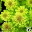 (水草)サンパウロ レッドアンブリア(無農薬)(3本)