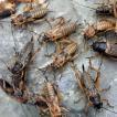 (生餌)フタホシコオロギ ML 40グラム(約80匹) 爬虫類 両生類 大型魚 餌 エサ