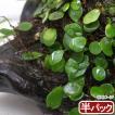 (観葉植物)苔 マメヅタ 半パック