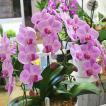 胡蝶蘭 ピンクストライプ 3本立 ミディ 陶器鉢植え オープン祝い・誕生日プレゼントのフラワーギフト 花