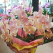 胡蝶蘭 ギフト 3本立て 珍しい花のベージュ色 ミニコチョウラン(小輪)