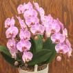 ミニ胡蝶蘭 ピンク 3本立て 陶器鉢植え お祝いや誕生日のフラワーギフト