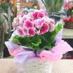 春の鉢花 プリムラ:オブコニカ5号鉢植えかご付き [ピンク] ラッピング付きでお届け