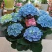 あじさい 鉢植え 「てまりてまり」 ブルー色 5号かご付き