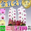 胡蝶蘭 ミディ 2本立(10~20輪) 5000円(税別)洋らん品...