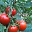 【高糖度】【甘酸っぱい】北海道産GREXフルーツミディトマト 4kg