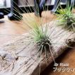 エアプランツ フックシィ チランジア 3cm〜8cm エアープランツ 観葉植物