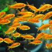 金魚 小赤 エサ用金魚 餌金 100匹 餌 エサ