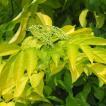 花木 庭木の苗/西洋ニワトコ(エルダーフラワー):黄...