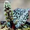【送料無料】 ドリミオプシス ブルケイ  Drimiopsis burkei 【ポット外径9cm】 多肉植物 観葉植物 サボテン 珍奇植物