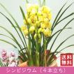 「シンビジウム 4本立ち」 誕生日 お祝い 開店・開業祝い お歳暮 春のギフト 花 ラン 洋蘭 花鉢 ピンク イエロー 送料無料