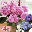 母の日 ギフト 2021 グラデーションあじさい 花鉢 ボリューム満点の5号鉢アジサイ 選べる4カラー フラワーキッチン FKHH