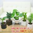 ミニ観葉植物 ハイドロカルチャースタイリッシュ陶器鉢付き 3鉢セット