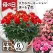 花鉢植え ギフト カーネーション 大きい6号鉢 プレゼント 産地直送 カーネーション