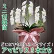 鉢植え ギフト プレゼント 花 洋ラン ミニ 胡蝶蘭 アマビリス 3本立ち 胡蝶蘭