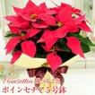 ポインセチア鉢植え 5号鉢 クリスマスプレゼント ポインセチアギフト 生花