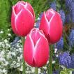球根 チューリップ 秋植え 栽培 花壇 趣味 園芸 キュウコン チューリップ球根 メリープリンス (5球セット)