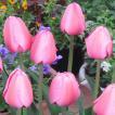 球根 秋植え 栽培 春に咲く 花 花壇 趣味 園芸 チューリップ球根 ピンクインプレッション (5球セット)