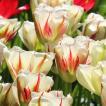 球根 秋植え 栽培 春に咲く 花 花壇 趣味 園芸 チューリップ球根 フレミングスプリンググリーン(5球セット)