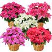 送料無料 プリンセチア(ピンクのポインセチア 鉢)5号 6色選べる ギフト仕様OK クリスマス 鉢花
