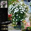 【完売につき追加分の販売です!】送料無料 スプリングローズ こぼれ咲く バラの庭 プリンセススノー プリンセスピーチ