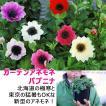 ガーデンアネモネ 花苗 パブニナ 3.5寸ロングポット 送料無料 ガーデニング