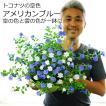 アメリカンブルーとホワイトの混色植え 7〜8号大鉢 耐暑性 暑さに強い 花柄摘み不要 送料無料