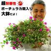 送料無料 ポーチュラカ 9号 華ミステリア 鉢花 鉢植え 猛暑に咲きまくる 暑さに強い 夏 4日〜5日間水やりしなくても枯れない