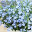 送料無料 初心者さんOK! ロベリア空色てふてふ 青空ブルー 8寸(24センチ) 大鉢植え
