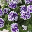 香りの八重咲きペチュニア ヴァンサンカン ブルーピコティ 3寸ロングポット 12苗セット 松原園芸育種交配