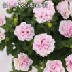 優しい花色の八重咲きペチュニア ヴァンサンカン ペールピンク(仮) 3寸ロングポット 12苗セット 松原園芸育種交配