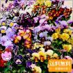 ビオラ ヌーヴェルヴァーグMIX 6苗セット 送料無料 アンティークな花色の超絶レアな品種 ヌーベルバーグ