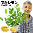 送料無料 花付き レモン レモンの木  ポンパドール 5号鉢(植え込み用)