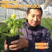 ラナンキュラス 大輪MIX 3.5寸 20苗セット 花苗 苗 セット 福袋 季節の花苗
