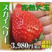 ☆☆☆栃木の新品種!完熟超大粒のいちご「スカイベリー」450g(9玉か12玉)を限定販売!送料無料
