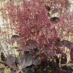 スモークツリー 苗木 ベルベットクローク 16.5cmポット苗 4年生苗 スモークツリー 苗